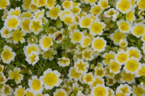 A garden bed full of yellow and white meadowfoam blooms.