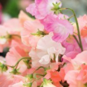Pink and peach colored sweet pea blossoms.