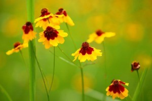 A field of coreopsis flowers in bloom.