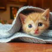 A kitten wrapped up in a blanket.