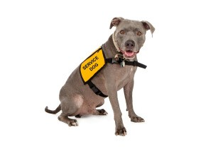 A service dog in a yellow vest.