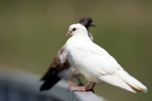 White quail perched on a railing