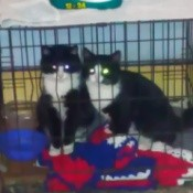 Rex and Sox (Tuxedo Cats)