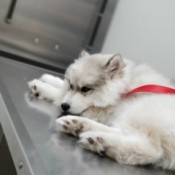 Prognosis for Puppy with Parvo - white puppy