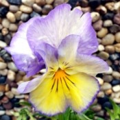 The Pansy Flower - closeup of a purple, white, and yellow pansy flower