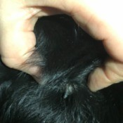 Lump on Dog's Neck Oozing a Hard Substance