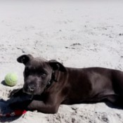 Is My Pit Bull Full Blooded? black dog on the beach