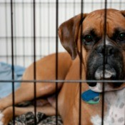 Boxer dog in a crate.