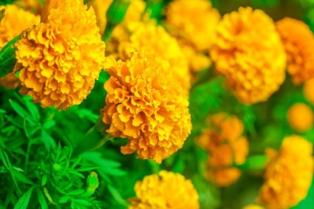 many Marigold flowers