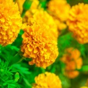 many Marigold flowers