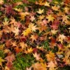 Maple leaves on the grass under tree