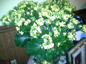 Identifying a Houseplant - plant with shiny green leaves and many small white flowers