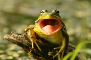 Frog on a stump with a big wide open mouth.