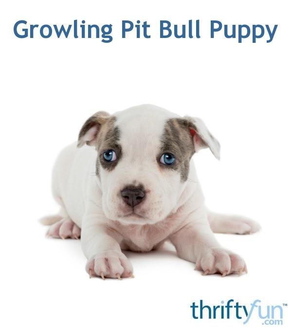 Growling Pit Bull Puppy Thriftyfun