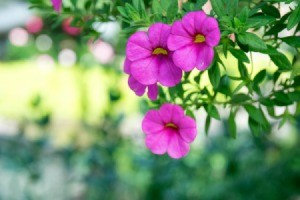 Close up of pink Calibrachoa (Million Bells).