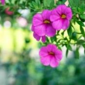 Close up of pink Calibrachoa (Million Bells).