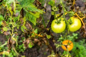 Tomato plant with black leaves and green tomatoes.