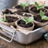 A tray of seedlings in cardboard pots.