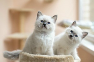 Two Birman kittens on a cat tower.