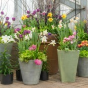 Lots of potted plants in large planters filled with tulips and daffodils.