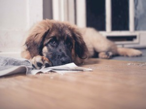 Dog looking sad on floor after peeing on rub