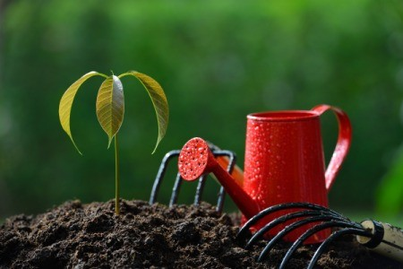 Mango tree seeding planted with watering can and small garden tools next to it.