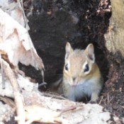 A forest chipmunk on the shores of Lake Superior.