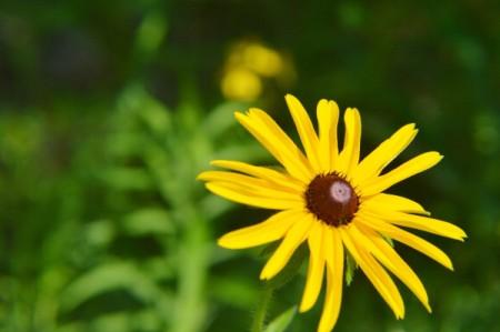 Wild Woodland Daisy (Rudbeckia) - yellow flower with black center