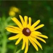 Wild Woodland Daisy (Rudbeckia) - yellow flower with black center