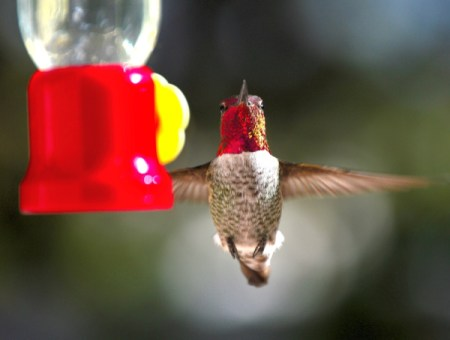 An Anna's hummingbird with a red head, at a birdfeeder.