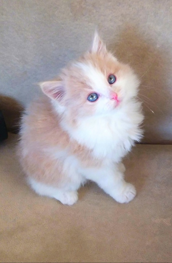 Looking For Someone To Breed My Cat With