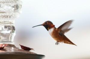 Hummingbird flying towards a bird feeder.