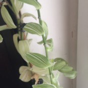 Identifying a Houseplant - vining plant with pretty light and medium green and white leaves