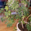What Is This Plant? - potted plant with branches with radiating leaves clusters