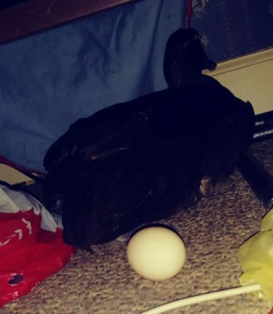 Duck Laid an Egg