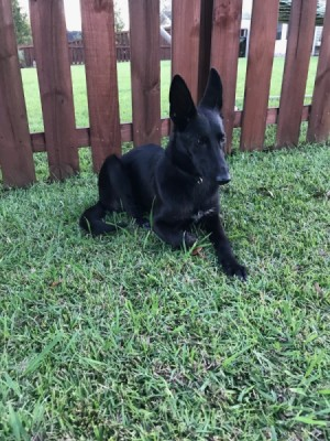 Is My Dog a German Shepherd? - lanky black dog with large standup ears