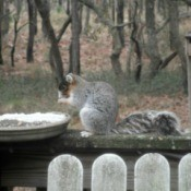 Fox Squirrel - pretty gray squirrel with light chest, reddish brown cheeks and dark face