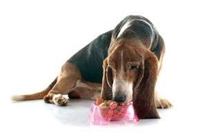 Elderly basset hound eating from a dish of food