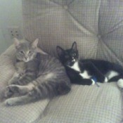 Curly, Sammy, and Lucky - gray tabby and black and white cat on couch