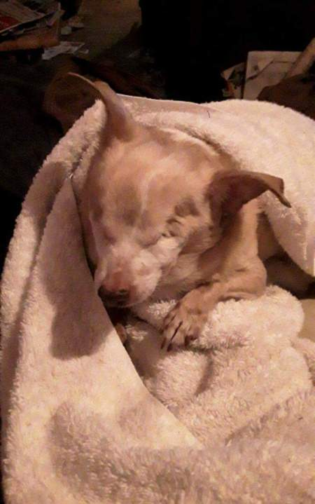 In Memory of Chickie (Chihuahua)