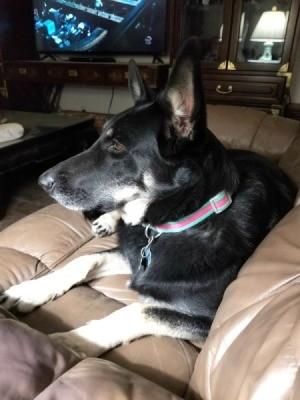 Shepherd? - dog on couch