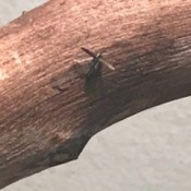 Identifying Tiny Bugs - bug on piece of wood