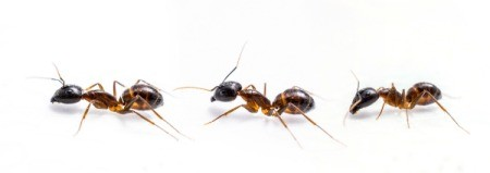 Three ants on a white background