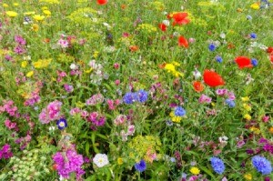 Many colors of wild flowers in a field