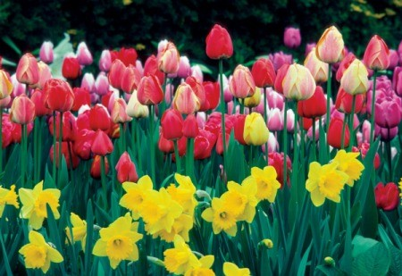 Daffodils and Tulips in a garden