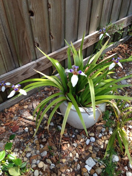 Twelve Apostles (Dietes Iridioides) - long leafed plant in pot with pretty white and purple flowers