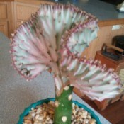 What Is This Houseplant? - grafted cactus appearing fan shaped plant