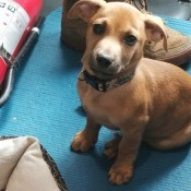 What Breed Is My Puppy? - light brown puppy