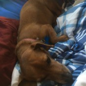 Is My Dog a Full Blood Dachshund or a Chiweenie? - dog laying on blankets