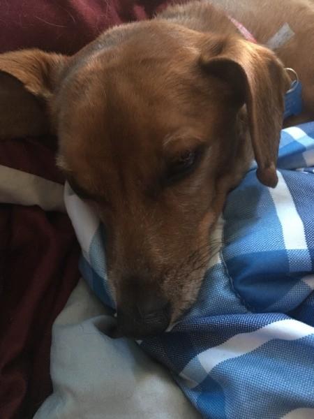 Is My Dog a Full Blood Dachshund or a Chiweenie?